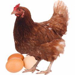 gallinas-camperas-y-huevos
